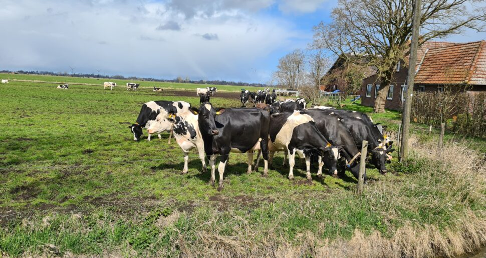 Kühe auf einer Weide