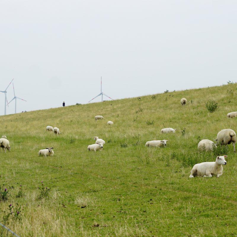 Eine Deich mit Schafen